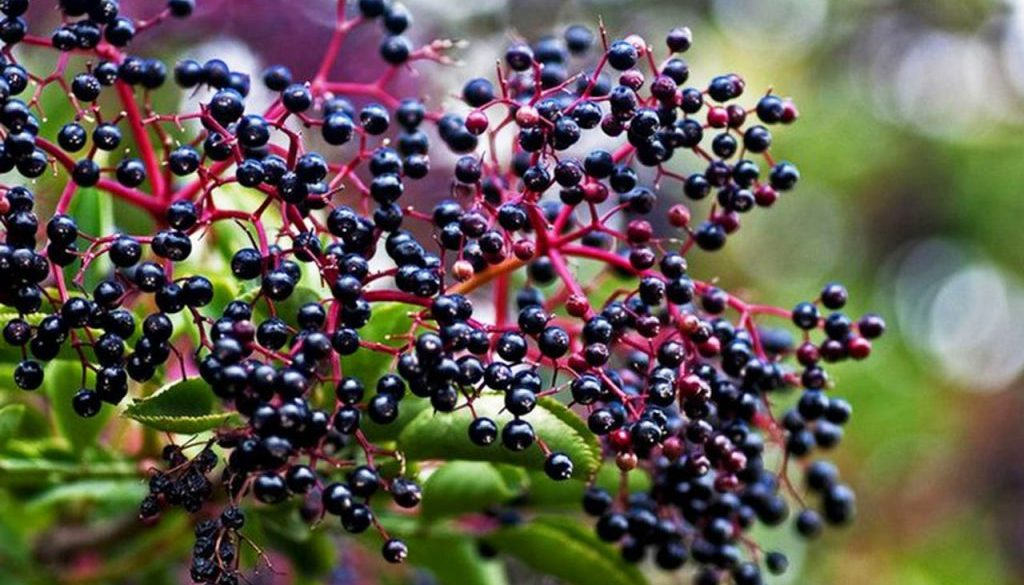 homemade-elderberry-syrup